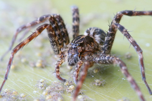 Dock spider and spiderlings