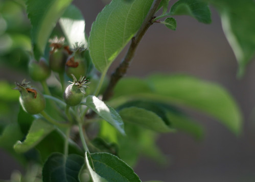 How our garden grows: Apples