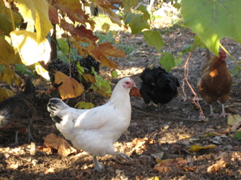 Happy Chickens at Lovena Farm