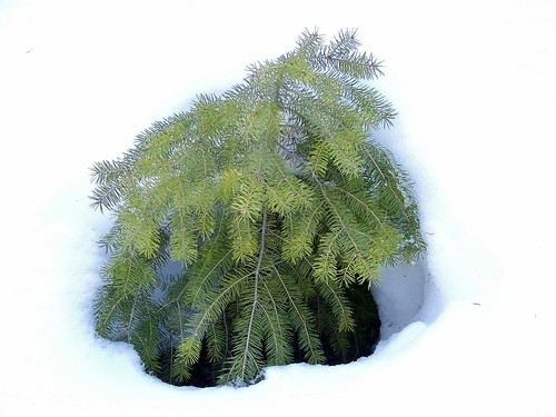 Winter fir