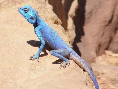 Agama azul del Sinai (Pseudotrapelus sinaitus)