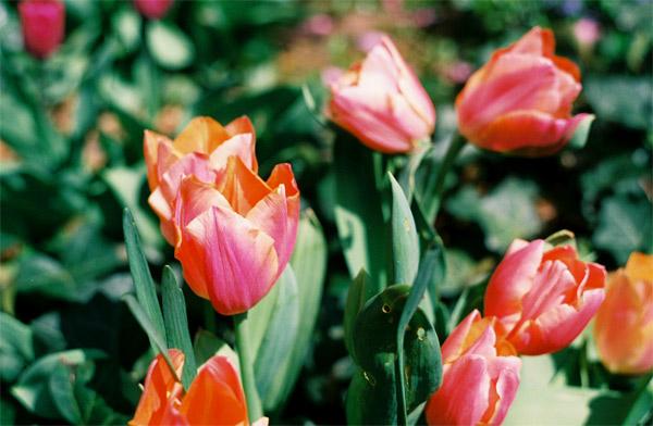 peachy-tulips