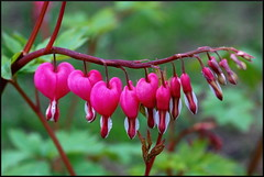 Bleeding Hearts (by StarbuckGuy)