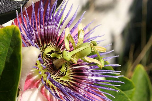 Passionflower, in color