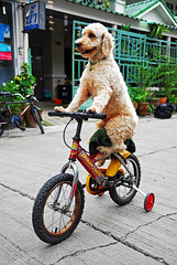 Dog on a bike / chien sur velo - Bangkok, Thailand