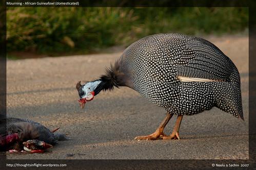 AfricanGuineafowl