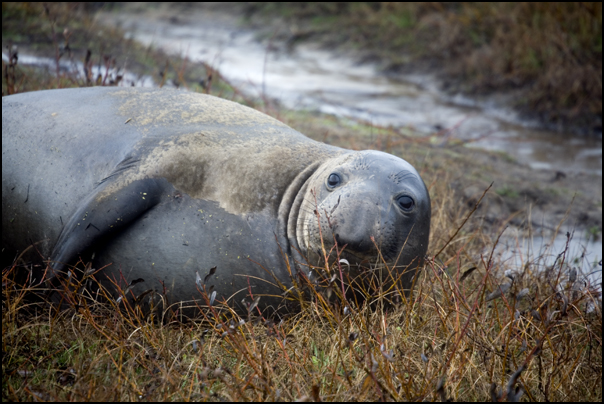 Young Elephant Seal Bull