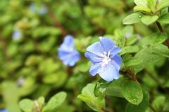 Flores da Mamãe
