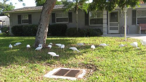neighborhood ibises