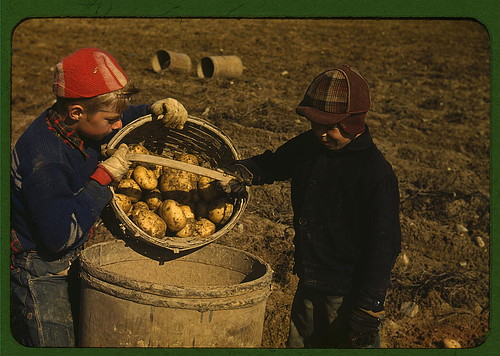 Children gathering potatoes on a large farm, vicinity of Caribou, Aroostook County, Me. Schools do not open until the potatoes are harvested (LOC)
