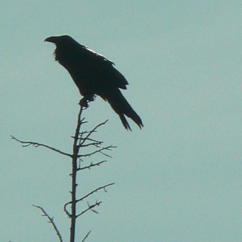 Raven Silhouette I