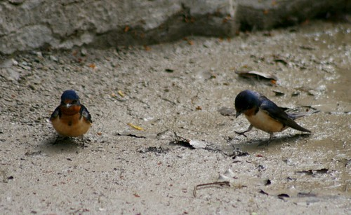 Barn Swallows collecting mud
