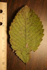 Leaf3a