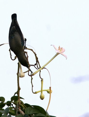 sunbird on the indian cork flower(akasha mallige) pune 181207