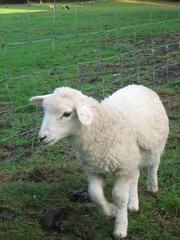Leaping Lamb Farm (barn, hay, Lammie, sunlight) Oct 2007 005