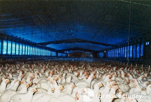 'Broiler' chickens raised for slaughter