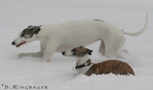 Spaziergang Whippet & Greyhounds
