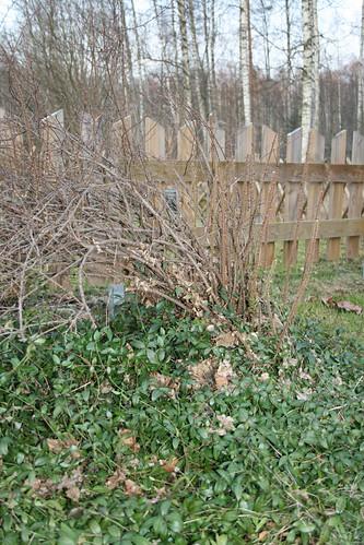 Innocent looking rosebush