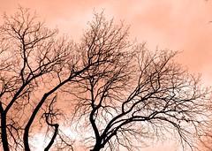 winter maples