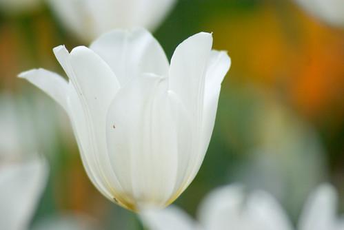 white tulip from Istanbul Tulip Festival  (pentax K10D)