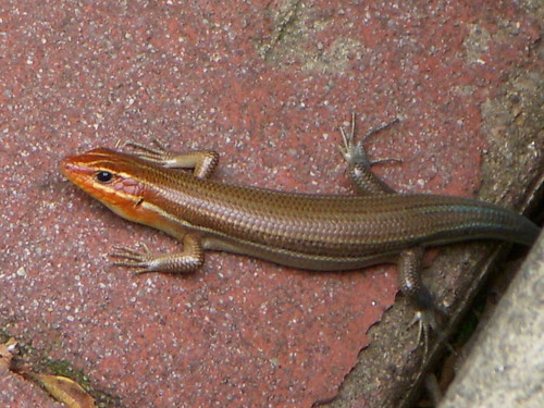 Broad-headed Skink