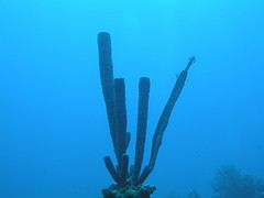 Sponge and trumpet fish