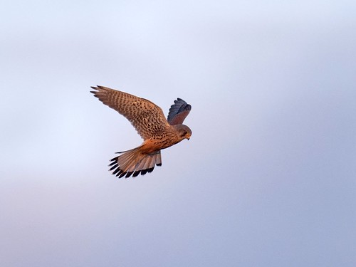 Kestrel-hovering at sunset