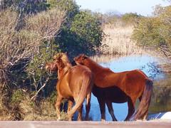 Ponies at Assateague