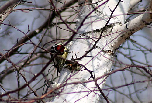 Yellow-bellied Sapsucker at well