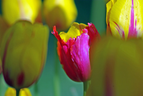 yellow-red tulip from Istanbul Tulip Festival, Pentax K10D