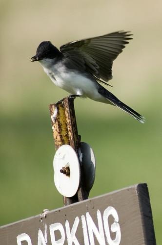 Eastern Kingbird with a bug