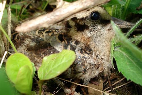 Baby Woodcock