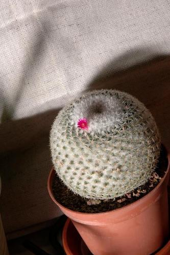 Cactus blossom 3