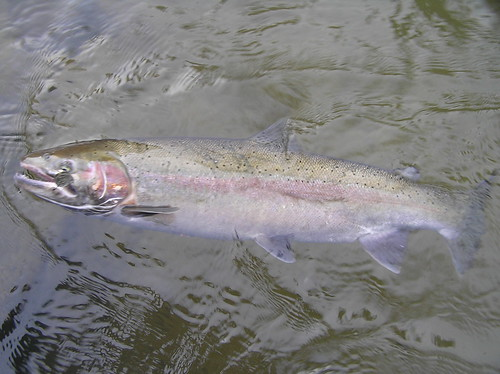 Wild Steelhead Buck