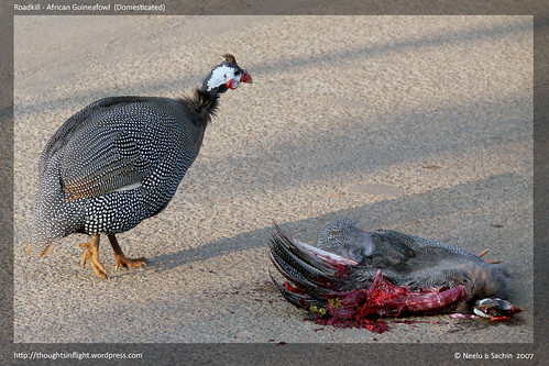 AfricanGuineafowl-Roadkill