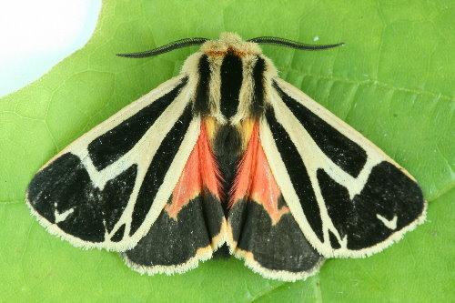 8171 - Apantesis nais - Nais Tiger Moth