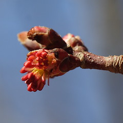 Red Maple Blossom - looks like mostly girl parts... will boy parts appear later?