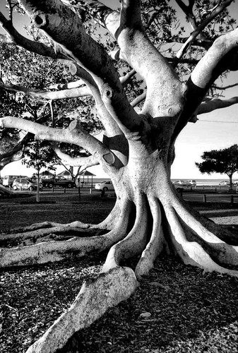 Moreton Bay Fig Tree, Wellington Point, Australia