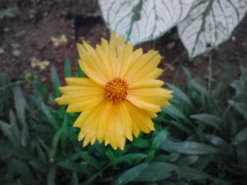 cra-flower