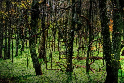 In the Mayapple Forest