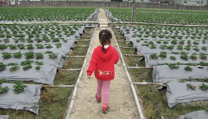 草莓採採樂(3.5ys)