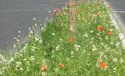 Blühendes Gras und Klatschmohn