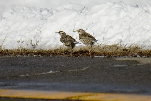 Two Eastern Meadowlark