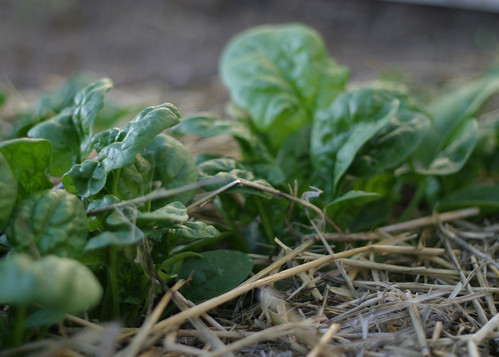 How Our Garden Grows: Spinach