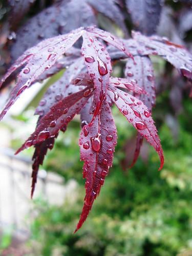 Japanese Maple, Raindrops