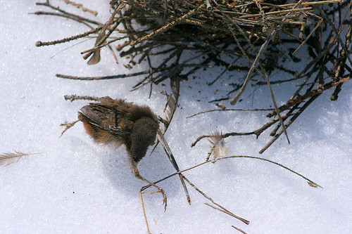 House Wren chick
