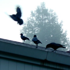 Crows on the rooftop