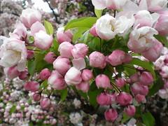 Cherry blossom buds, Fairfax, Virginia