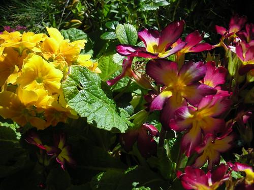 Spring Primroses blooming