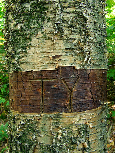 girdled birch